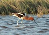 June 14, 2014 - (Quivira National Wildlife Refuge [Big Salt Marsh] / Hudson, Stafford County, Kansas) -- American Avocet