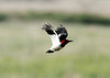 June 14, 2014 - (Quivira National Wildlife Refuge / Stafford, Stafford County, Kansas) -- Red-headed Woodpecker