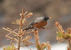 June 11, 2014 - (Loveland Pass / Summit County, Colorado) -- American Robin