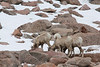 June 8, 2014 - (Mount Evans [near summit parking lot] / Idaho Springs, Clear Creek County, Colorado) -- Mountain Goats