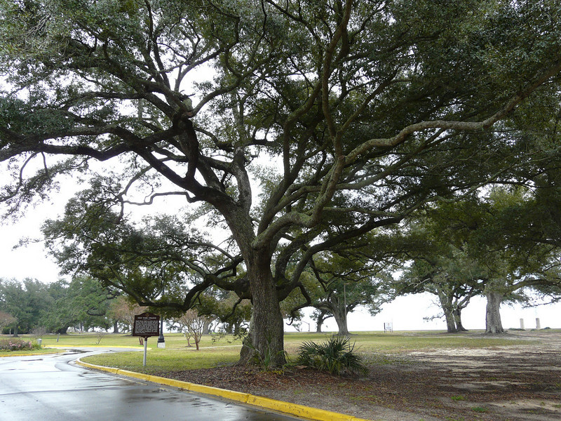 """The Friendship Oak Tree<br /> <br /> The Friendship Oak Tree is located on the front lawn of the Southern Miss Gulf Park campus in Long Beach, Miss.<br /> <br /> The historic Friendship Oak recently survived Hurricane Katrina, another in a long string of hurricanes that have rocked the Mississippi Gulf Coast<br /> <br /> Friendship Oak Measurements<br /> <br /> Current measurements show a 50-foot height; diameter of the trunk is 5 feet 9 inches; circumference of the trunk is 18 feet 7 inchees; spread of foliage is 156 feet. The average length of the main lateral limbs is 60-66 feet from the trunk; average circumference of the limbs at the trunk is 7 1/2 feet; the tree forms almost 16,000 feet of shelter; and laterial roots go out 150 feet.<br /> <br /> Friendship History<br /> <br /> On the beachfront of The University of Southern Mississippi Gulf Park Campus (formerly known as Gulf Park College for Women), overlooking the Gulf of Mexico, is a magnificent live oak tree 500-plus years old. The tree is loved by former students of Gulf Park College, revered by tree lovers, held in fond memory by those whose wedding ceremonies were conducted on the platform within its mighty branches, and viewed daily by tourists.<br /> <br /> This is the Friendship Oak.<br /> <br /> Friendship Oak keeps her majestic vigil on the Gulf of Mexico, a vigil that dates back to 1487. If asked about her length of stay on the Mississippi Gulf Coast, she might reply, """"I was a sapling when Christopher Columbus sailed the Caribbean and I had begun to bear acorns when Ponce de Leon reached Florida in his quest for the Fountain of Youth. In 1587, the year Virginia Dare, the first white child born at Roanoke Island, appeared, I had turned a hundred years old...""""<br /> <br /> Friendship Oak has seen the history of the Mississippi Gulf Coast and of America unfold.<br /> <br /> <a href=""""http://www.usm.edu/gc/friendship_oak.html"""">http://www.usm.edu/gc/friendship_oak.html</a>"""