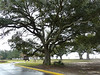 "The Friendship Oak Tree<br /> <br /> The Friendship Oak Tree is located on the front lawn of the Southern Miss Gulf Park campus in Long Beach, Miss.<br /> <br /> The historic Friendship Oak recently survived Hurricane Katrina, another in a long string of hurricanes that have rocked the Mississippi Gulf Coast<br /> <br /> Friendship Oak Measurements<br /> <br /> Current measurements show a 50-foot height; diameter of the trunk is 5 feet 9 inches; circumference of the trunk is 18 feet 7 inchees; spread of foliage is 156 feet. The average length of the main lateral limbs is 60-66 feet from the trunk; average circumference of the limbs at the trunk is 7 1/2 feet; the tree forms almost 16,000 feet of shelter; and laterial roots go out 150 feet.<br /> <br /> Friendship History<br /> <br /> On the beachfront of The University of Southern Mississippi Gulf Park Campus (formerly known as Gulf Park College for Women), overlooking the Gulf of Mexico, is a magnificent live oak tree 500-plus years old. The tree is loved by former students of Gulf Park College, revered by tree lovers, held in fond memory by those whose wedding ceremonies were conducted on the platform within its mighty branches, and viewed daily by tourists.<br /> <br /> This is the Friendship Oak.<br /> <br /> Friendship Oak keeps her majestic vigil on the Gulf of Mexico, a vigil that dates back to 1487. If asked about her length of stay on the Mississippi Gulf Coast, she might reply, ""I was a sapling when Christopher Columbus sailed the Caribbean and I had begun to bear acorns when Ponce de Leon reached Florida in his quest for the Fountain of Youth. In 1587, the year Virginia Dare, the first white child born at Roanoke Island, appeared, I had turned a hundred years old...""<br /> <br /> Friendship Oak has seen the history of the Mississippi Gulf Coast and of America unfold.<br /> <br /> <a href=""http://www.usm.edu/gc/friendship_oak.html"">http://www.usm.edu/gc/friendship_oak.html</a>"