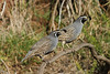 October 20, 2013 - Hakalau Forest National Wildlife Refuge [Pua Akala Tract] / Hawaii County, Hawaii) -- California Quail