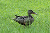 October 20, 2013 - (MoOheau County Park, Hilo, Hawaii County, Hawaii,) -- Northern Shoveler