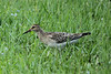 October 20, 2013 - (MoOheau County Park, Hilo, Hawaii County, Hawaii,) -- Pectoral Sandpiper