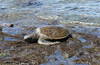 October 21, 2013 - (Kahalu'u Beach Park, Hawaii County, Hawaii) -- Green Sea Turtle