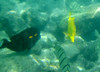 October 21, 2013 - (Kahalu'u Beach Park, Hawaii County, Hawaii) -- Fish