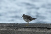 October 17, 2013 - (Whittington Beach County Park / Honu'apo Bay, Hawaii County, Hawaii) --  Wandering Tattler