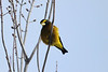 February 3, 2014 - (Sax-Zim Bog / Forbes, Saint Louis County, Minnesota) -- Evening Grosbeak