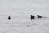 May 20, 2013 - (Park Point Beach [from Minnesota Avenue] / Duluth, Saint Louis County, Minnesota) -- Horned Grebes