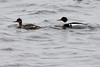 May 20, 2013 - (Park Point Beach [from parking lot] / Duluth, Saint Louis County, Minnesota) -- Pair of Red-breasted Mergansers