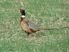 May 26, 2008 - (South Valley ponds / Bigfork, Flathead County, Montana) -- Male Ring-necked Pheasant