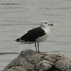 September 29, 2014 - (Sherwood Island State Park [Beach]  / Westport, Fairfield County, Connecticut) -- Greater Black-backed Gull