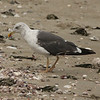 September 29, 2014 - (Sherwood Island State Park [Beach]  / Westport, Fairfield County, Connecticut) -- Lesser Black-backed Gull