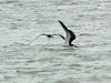 April 20, 2009 - (Sullivan's Island [Breach Inlet] / Charleston County, South Carolina) -- Black Skimmers