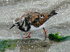 April 20, 2009 - (Pitt Street Bridge / Mount Pleasant, Charleston County, South Carolina) -- Ruddy Turnstone