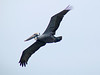 April 20, 2009 - (Pitt Street Bridge / Mount Pleasant, Charleston County, South Carolina) -- Brown Pelican