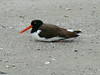 April 20, 2009 - (Pitt Street Bridge / Mount Pleasant, Charleston County, South Carolina) -- American Oystercatcher
