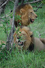 The southern pride has two males protecting them