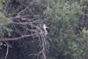 March 19, 2011 (Salineño river access / Starr County, Texas) - Osprey in Mexico on the other side of the Rio Grande