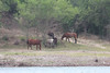 March 19, 2011 (Salineño river access / Starr County, Texas) - Mexican horses on the other side of the Rio Grande