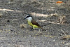 March 16, 2011 (Salineño feeders / Starr County, Texas) - Great Kiskadee