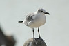 November 11, 2013 - (Shrimp Basin Bridge [boatramp] / Brownsville, Cameron County, Texas) -- Laughing Gull