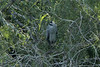 November 10, 2013 - (Estero Llano Grande State Park / Weslaco, Hidalgo County, Texas) -- Yellow-crowned Night Heron