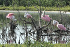 November 11, 2013 - (South Padre Island Birding & Nature Center [from boardwalk] / Cameron County, Texas) -- Roseate Spoonbill