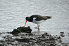 November 11, 2013 - (Shrimp Basin Bridge [boatramp] / Brownsville, Cameron County, Texas) -- American Oystercatcher