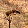 Whistling Kite. This is a common and widespread kite which soars effortlessly. It has a distinctive shrill, whistling call; the first note leisurely, long and descending followed by a quick upward burst of four to six short, shrill staccato notes. The Whistling Kite feeds mainly on carrion.