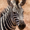 Was cool to be able to get really good closeups of zebras.