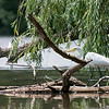DSC_4592 great white egret