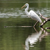 After seeing this heron here for a couple of days it moved on, and I haven't seen it here since. I believe the larger fishing birds cycle through the numerous lakes that dot the Tri-state area. Guessing it was going to leave any day now I devoted this day to tracking it down, and after much effort succeeded. Eventually it or one of it's friends will take its' turn hunting here for a few days, and our chase will begin anew.