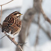 DSC_0127 white throated sparrow