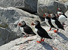 The Puffins of Machias Seal Island