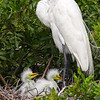 Egret Mom with Chicks