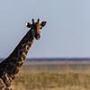 giraffe, <i>Giraffa camelopardalis angolensis</i> (Giraffidae). Etosha N.P., Oshikota Namibia