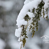 Close up of a Douglas Fir tree covered in snow during a winter storm. Stock video footage by Mitch Winton - coastphoto.com