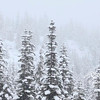 Douglas Fir trees covered in snow during a winter storm.<br /> Stock video footage by Mitch Winton - coastphoto.com