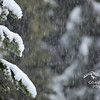 Close up of a Douglas Fir tree covered in snow during a winter storm.<br /> Stock video footage by Mitch Winton - coastphoto.com