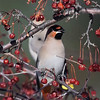 Bohemian Waxwings Eating Cherries
