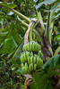 A bunch of bananas on the plant in the jungle of south Vietnam, Asia.