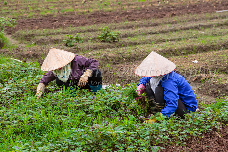 Two ladies working in a vegetable garden in the countryside near Hanoi, Vietnam, Asia.