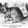Vintage Chincilla Illustration - 1800s Chincillas Rodent Images.