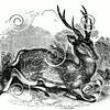 Vintage Deer Buck Illustration - 1800s Stag Images