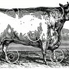 Vintage Bull Cow Illustration - 1800s Cows Images
