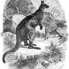 Vintage Kangaroo Illustration - 1800s Kangaroos Images