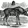 Vintage Moose Illustration - 1800s Elk Images