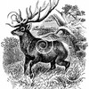 Vintage American Elk Illustration - 1800s Elk Deer Images